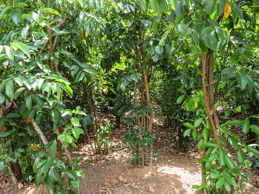 O Cinnamon Tree - Blog   Spice Trekkers