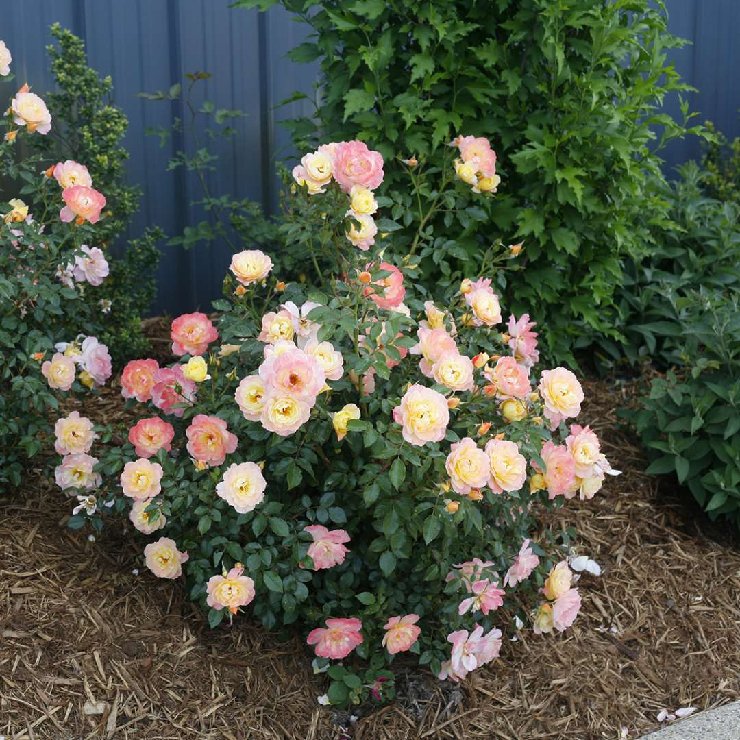 Oso Easy Italian Ice Rose Spring Meadow Wholesale