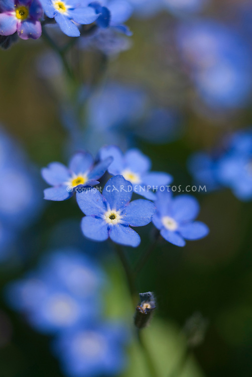 Blue Flowers  amp  Plants Stock Photos   Images   Plant   Flower     Myosotis scorpioides Victoria Blue Indigo  Forget me not  showing several  closeup small