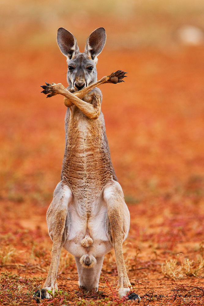 A Red Kangaroo Joey Standing Up And Crossing His Arms Over