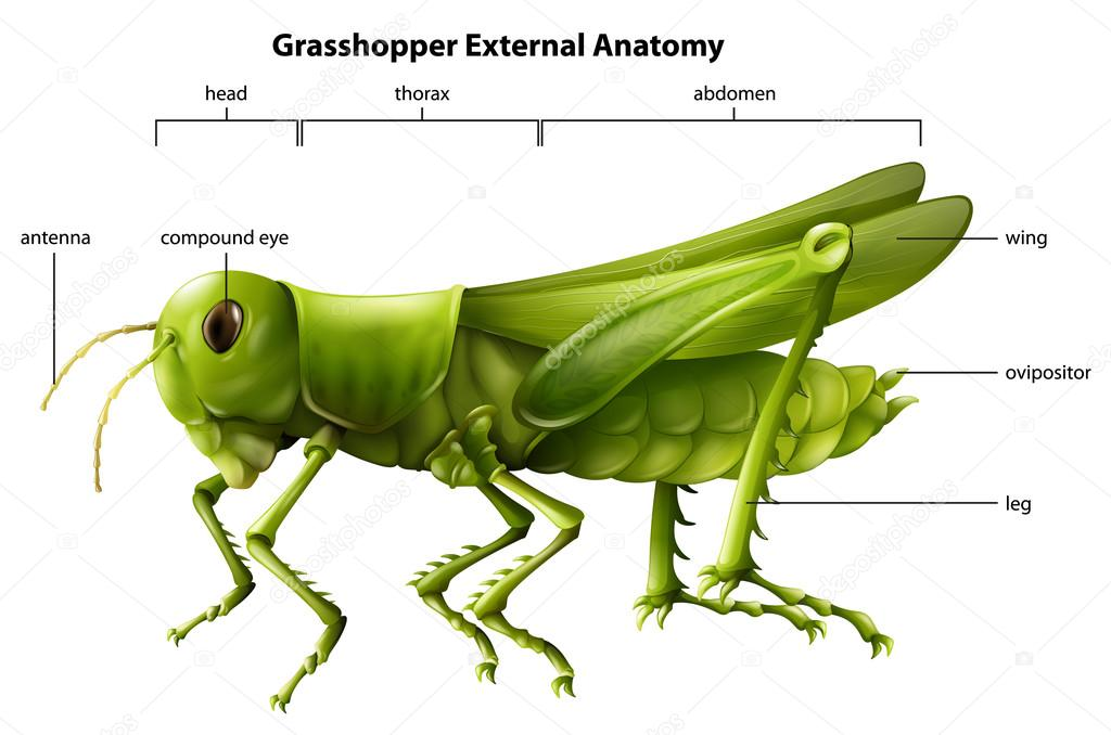 External Grasshopper Internal Anatomy And