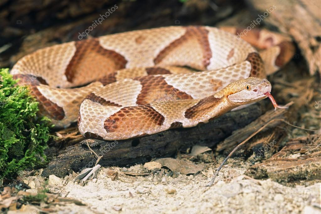 northern copperhead pictures - 800×532