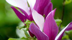 Como obter um lilás