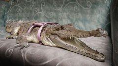 Cách chế ngự cá sấu