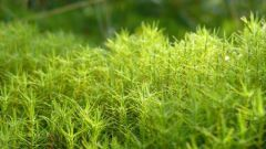 Paano Mag-breed ng Cucoshin Flax.