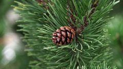 Magic Pine Forces.