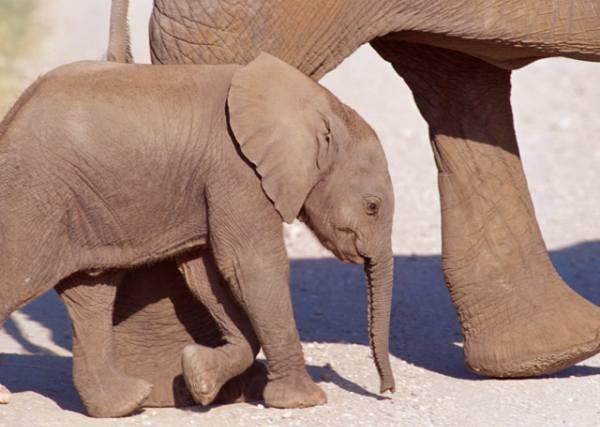 Όπως πολλαπλασιάζονται οι ελέφαντες