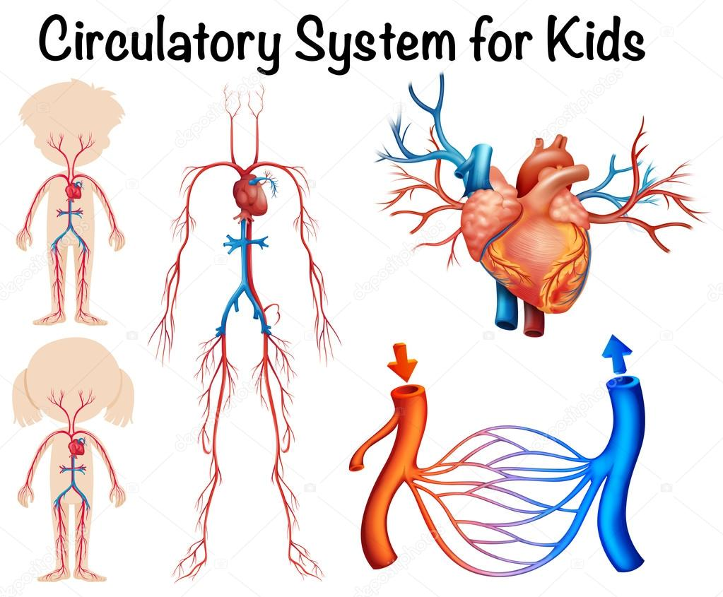 circulatory system for kids