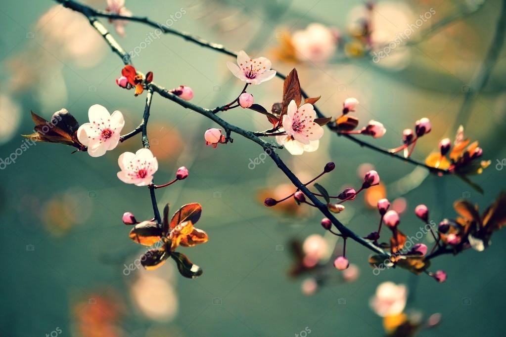 cherry blossom wallpaper - HD