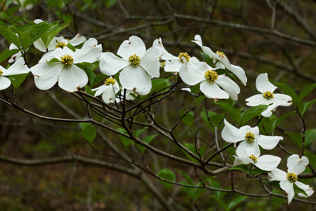 Pictures Dogwood Tree Flower And Poem