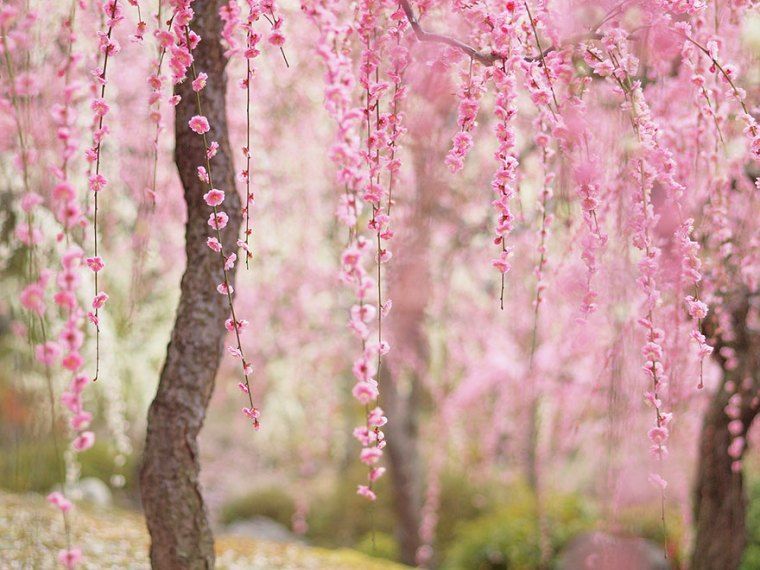 21 Of The Most Beautiful Japanese Cherry Blossom Photos Of 2014     21 Of The Most Beautiful Japanese Cherry Blossom Photos Of 2014   Bored  Panda