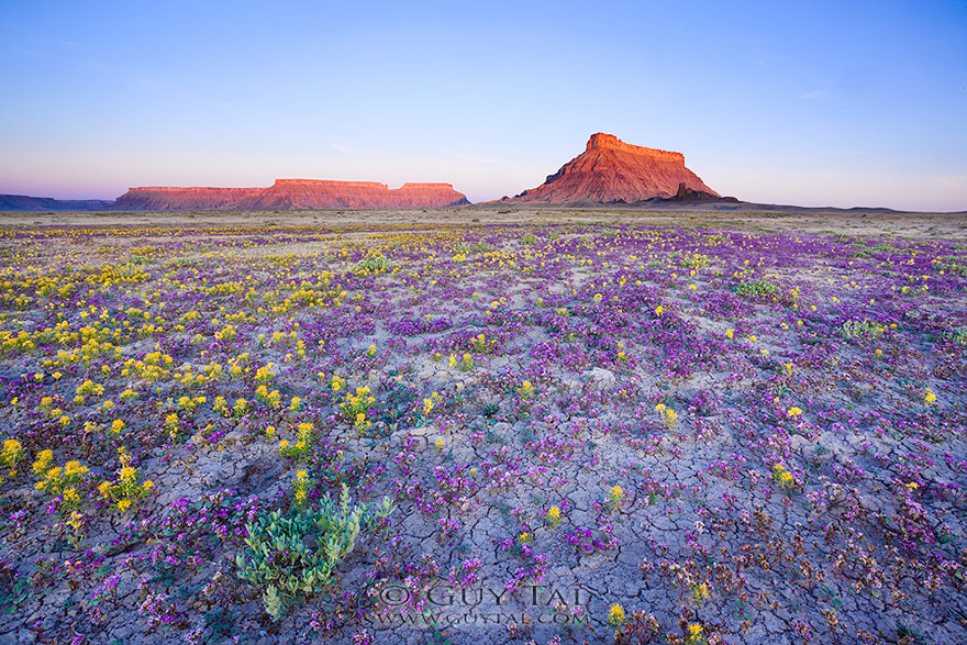 When Conditions Are Right  These Utah Deserts Explode With Colourful     blooming desert badlands utah 9