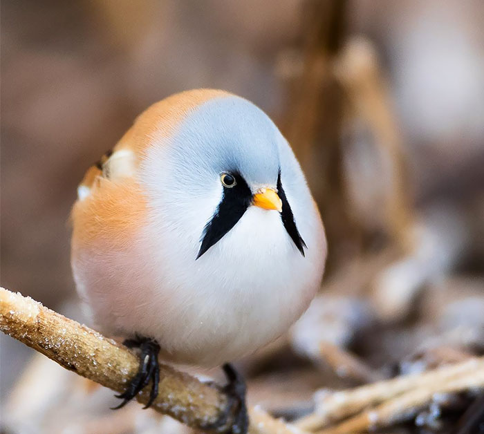 10  Animals That Are So Round They ll Roll Straight Into Your Heart      4 A Ball Of Bearded Reedling