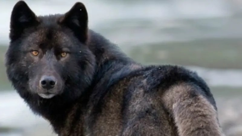 Protections Rejected For Alexander Archipelago Wolf In