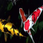 Free Koi 3D Live Wallpapers Android Apps APK Download For Android     Koi 3D Live Wallpapers Android Apps screenshot 2 6