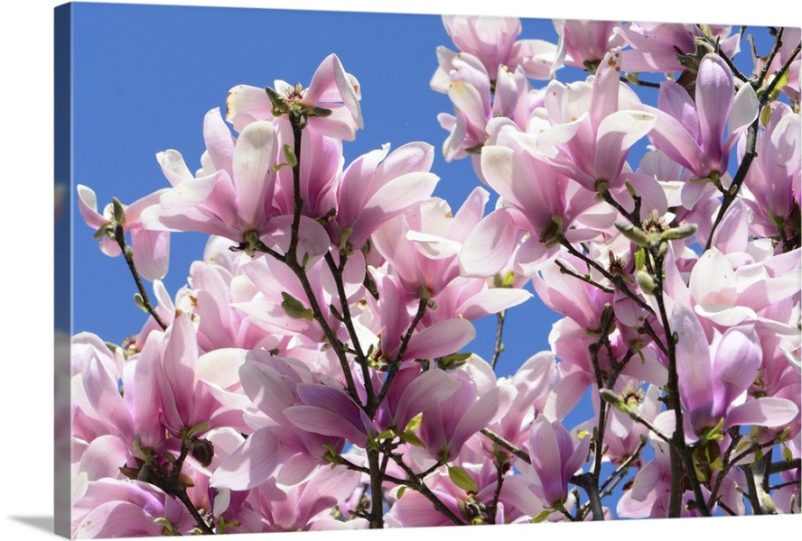 Pink Chinese or saucer magnolia flowers  Magnolia x soulangeana     Pink Chinese or saucer magnolia flowers  Magnolia x soulangeana  against a  blue sky