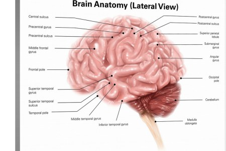Interior brain anatomy hd images wallpaper for downloads easy brain anatomy brain pinterest brain anatomy anatomy and brain brain stem posterior view amazing brain with labeled parts gallery anatomy and physiology publicscrutiny Gallery