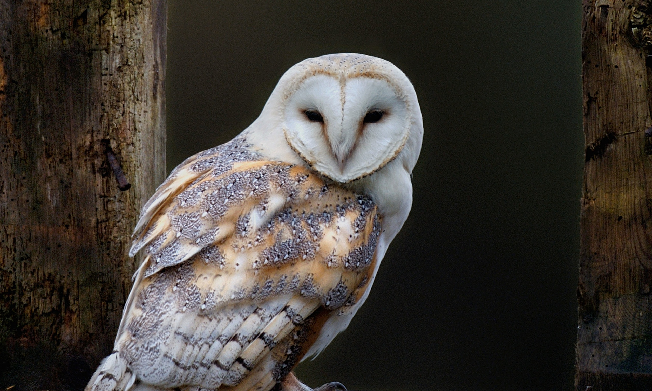 Curb on rat poisons urged to protect barn owls ...