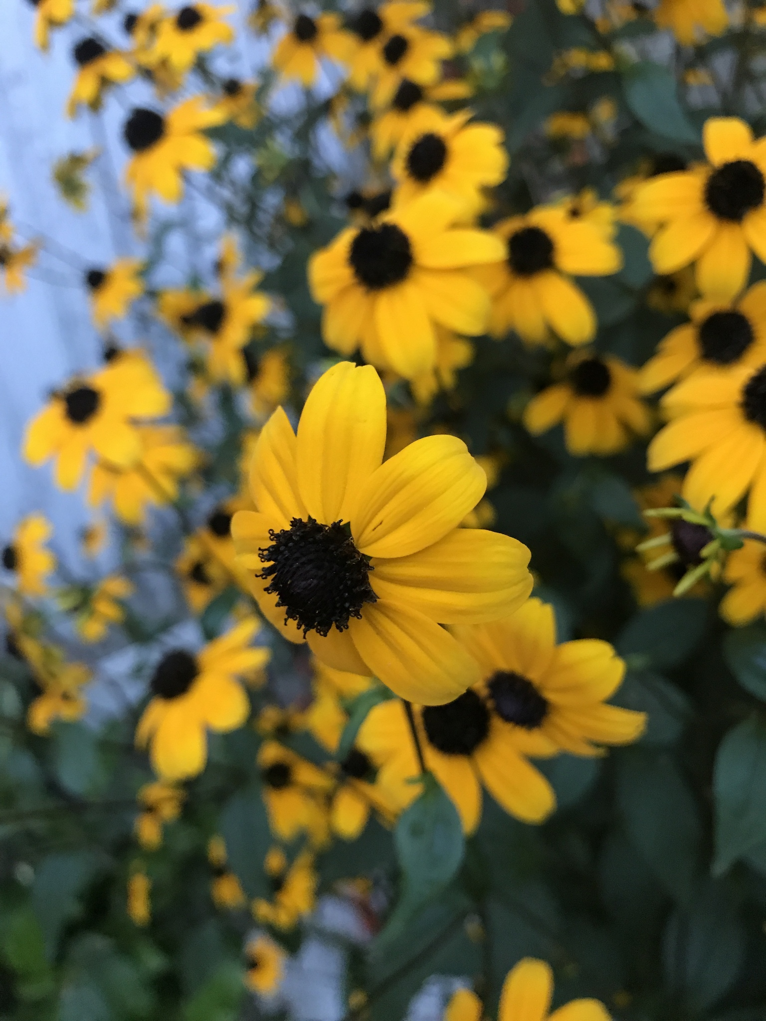 brown eyed susan - HD 1536×2048