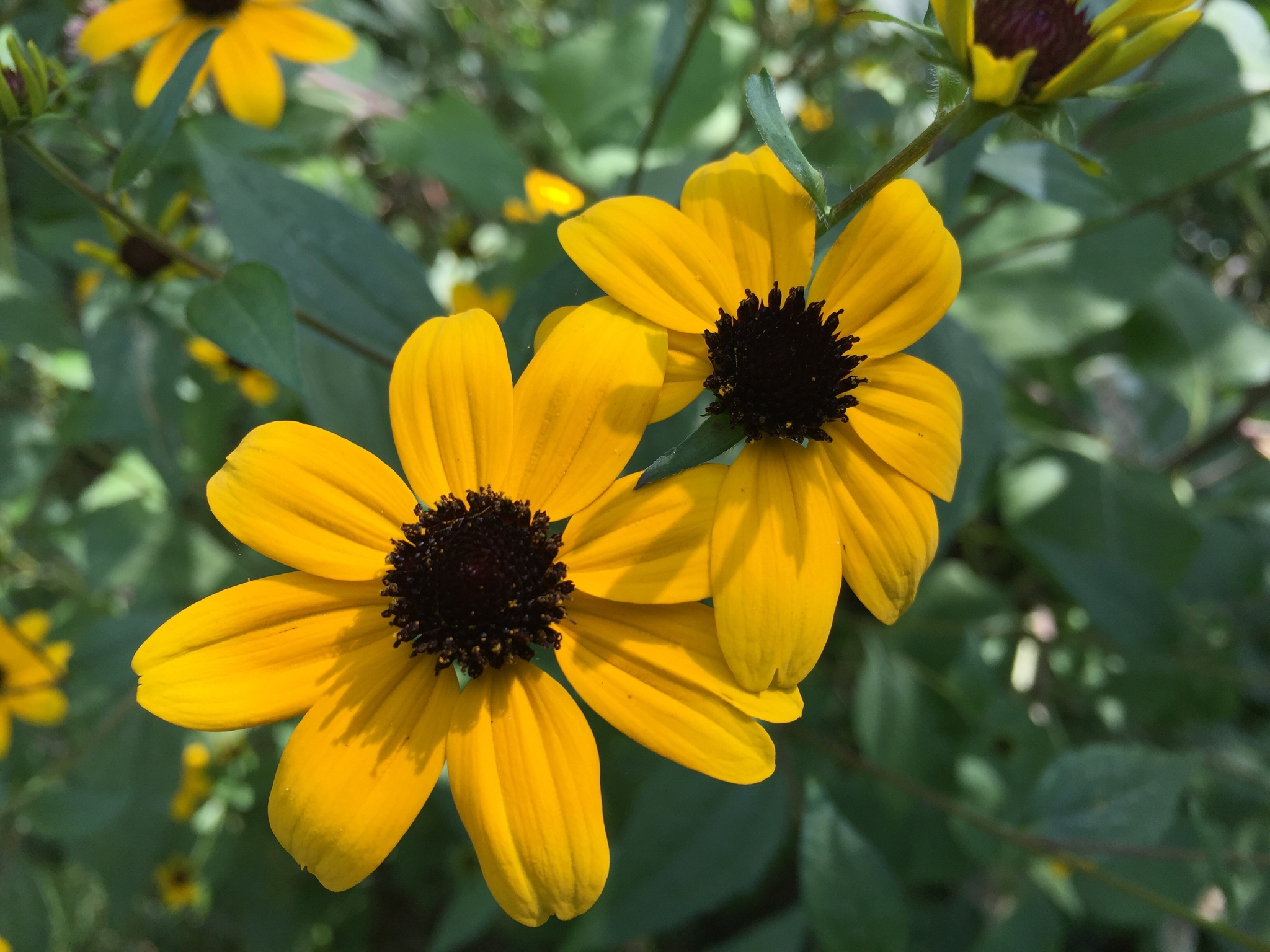 brown eyed susan - HD 2048×1536