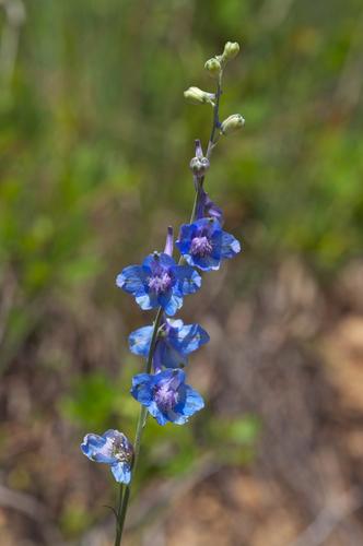 Wild Blue Larkspur Delphinium Carolinianum 183 Inaturalist Org