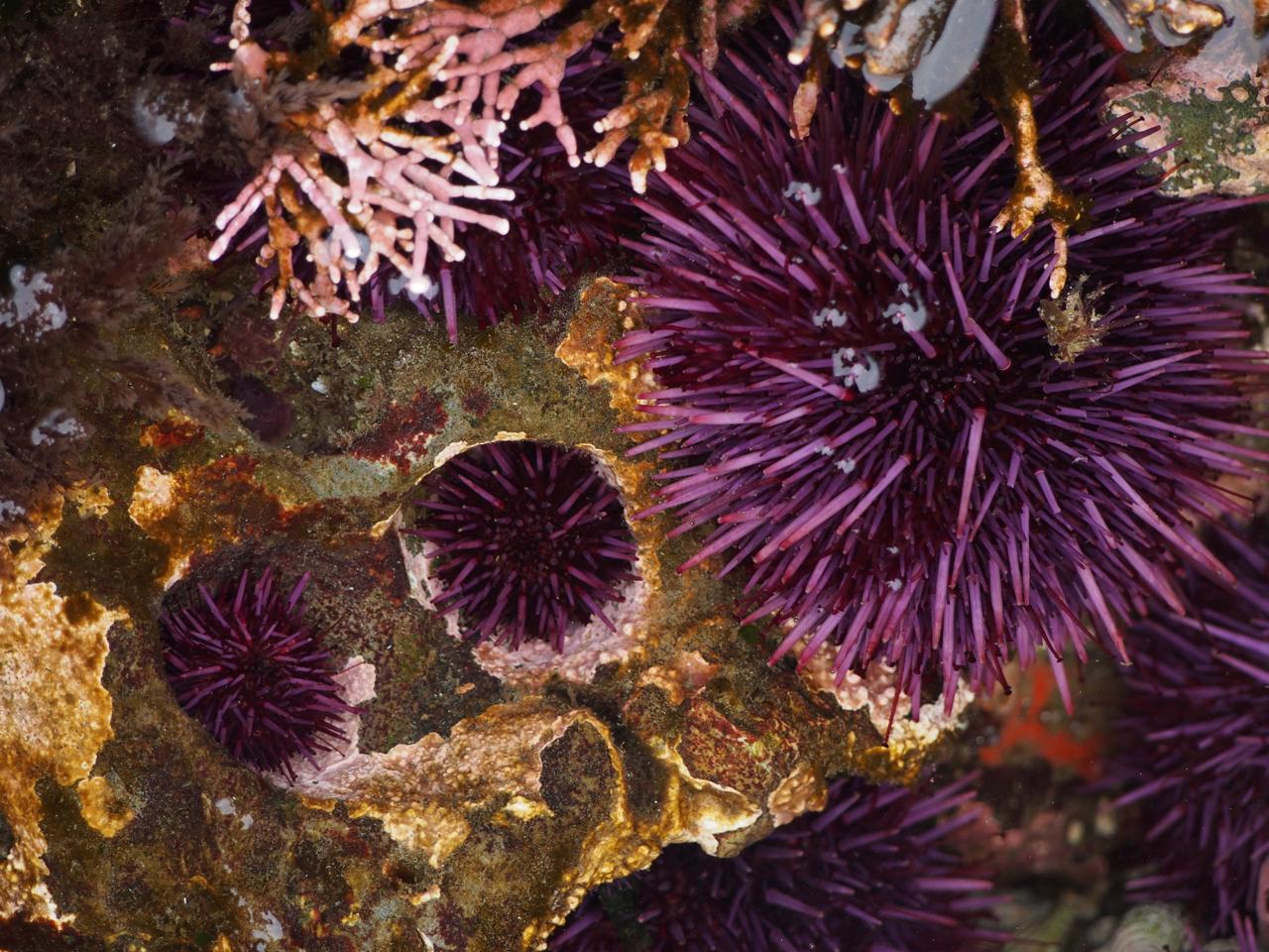 purple sea urchin - HD1280×960