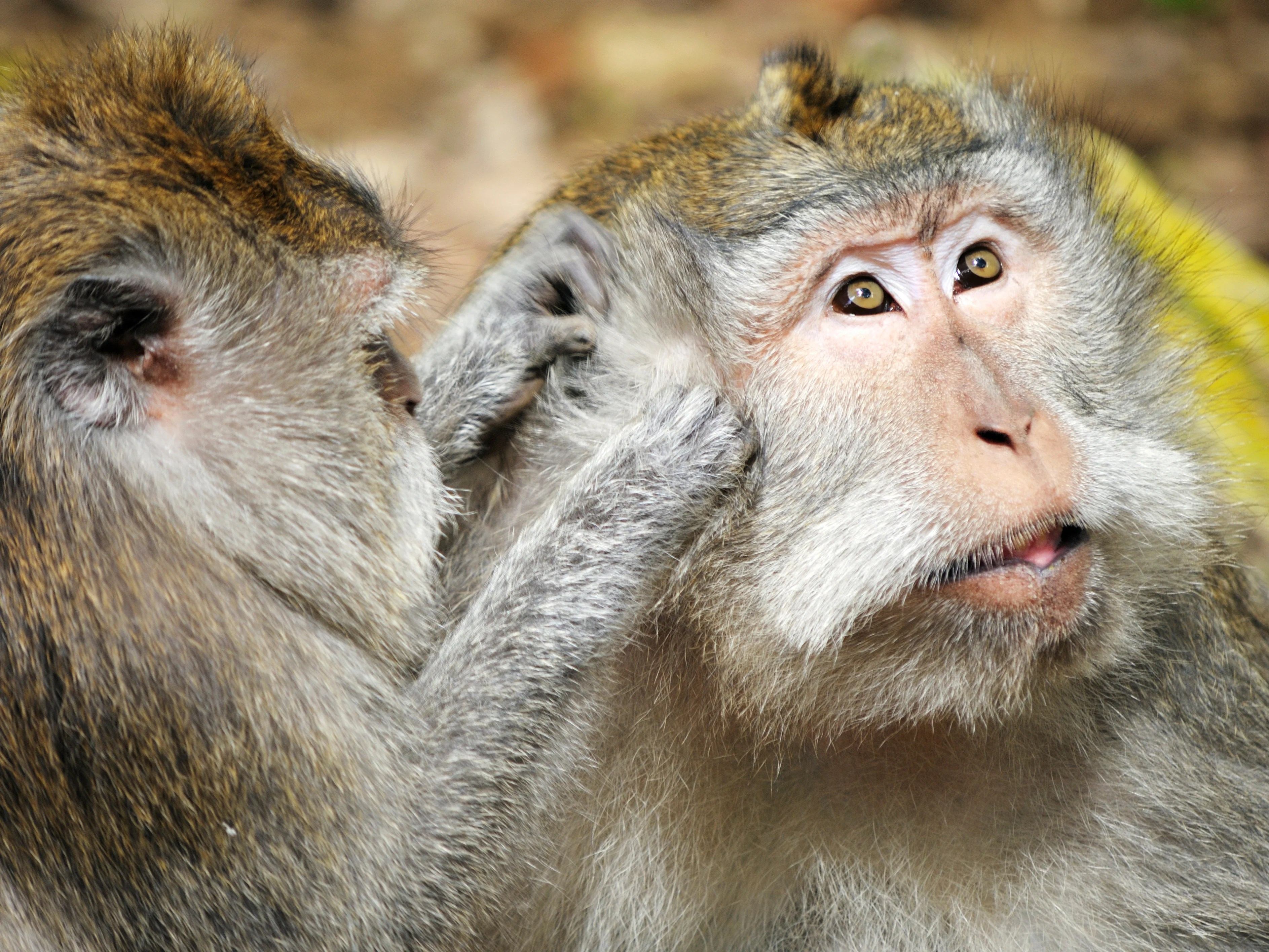 UK 'complicit in cruel trade in wild monkeys' for lab tests as government refuses to match EU ban