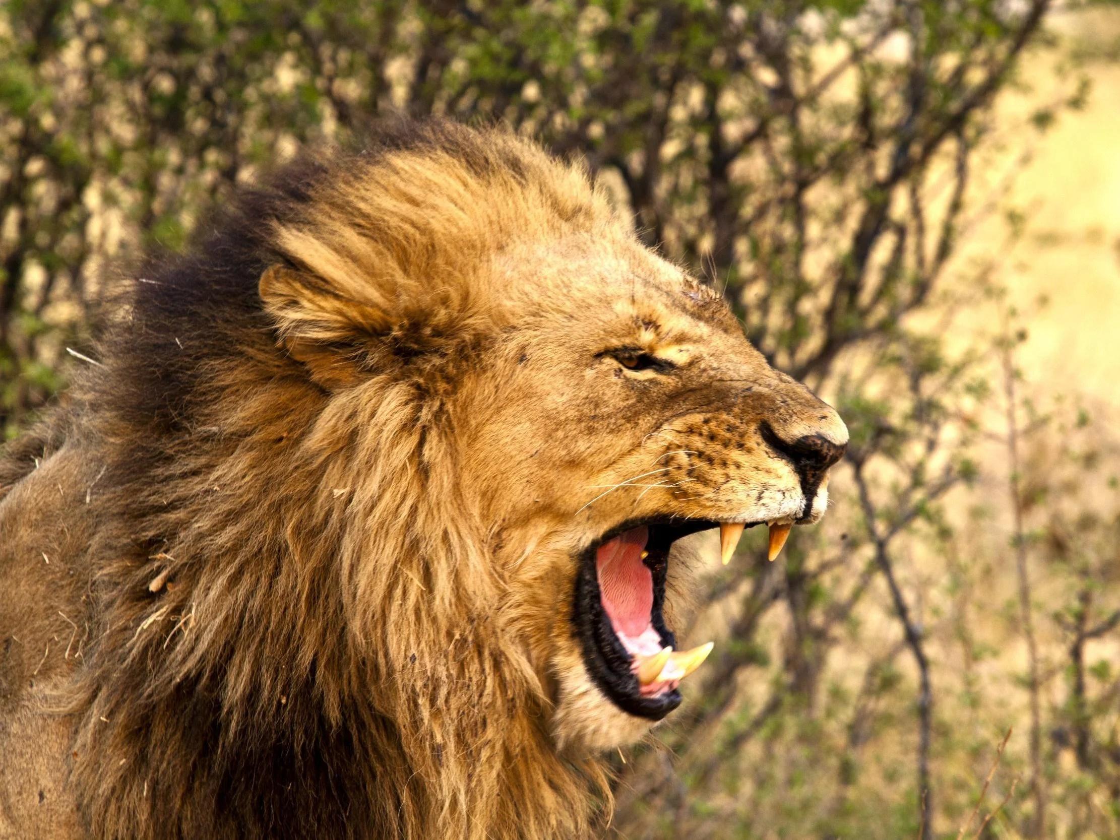man eaten by lion - HD2222×1667
