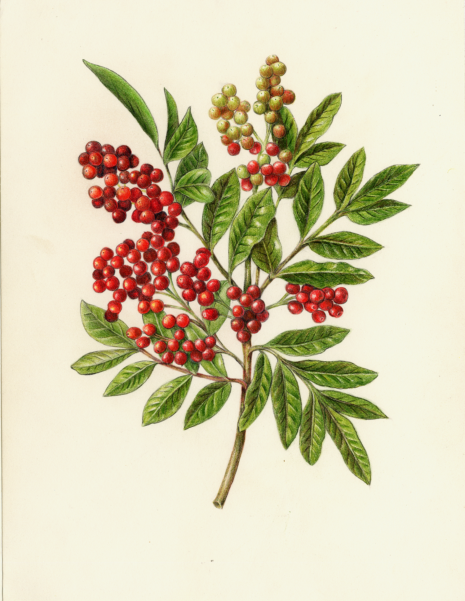 Holly Tree Botanical