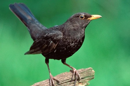 Bye Bye Blackbird - Lack Of Insects Causes 'worrying' Decline In Bird's  Numbers | London Evening Standard | Evening Standard