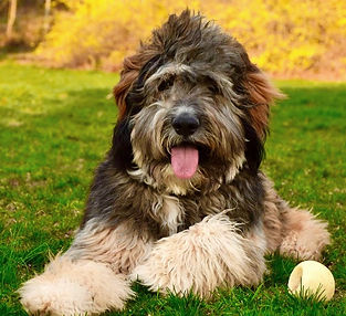 Bernedoodle Puppies For Sale Berner Mountain Bernedoodles