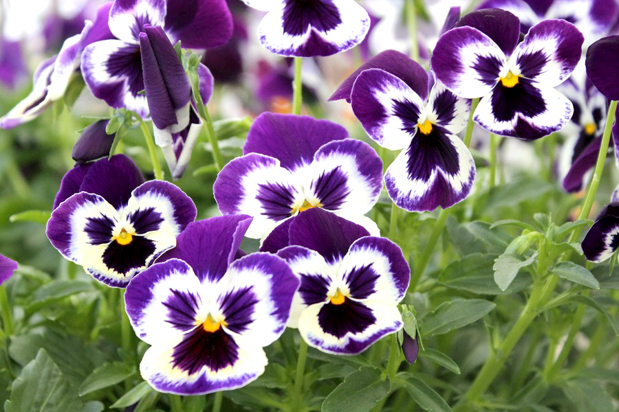 Here s What to do for Tons of Flowers on your Pansies Now that winter is over  right     it s time to pay extra attention to your  pansies   violas so they can put on the best spring show of flowers