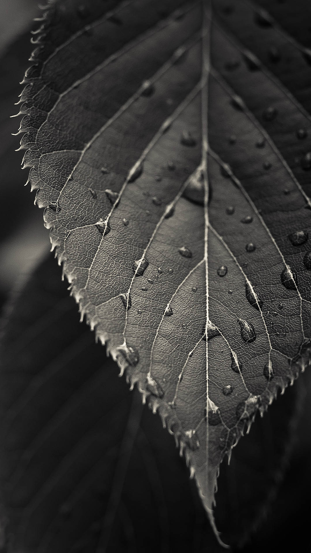 iPhone 6   iPhone 6 Plus Wallpapers     Gadgetmac gray leaf macro iphone 6 plus wallpaper ilikewallpaper com