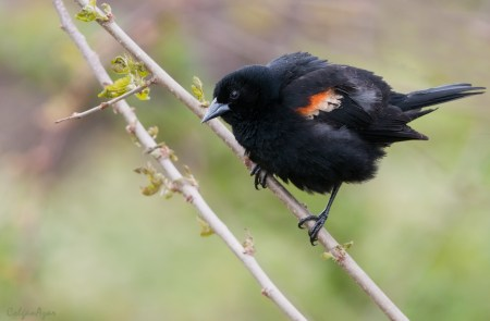 Red-winged Blackbird — Madison Audubon