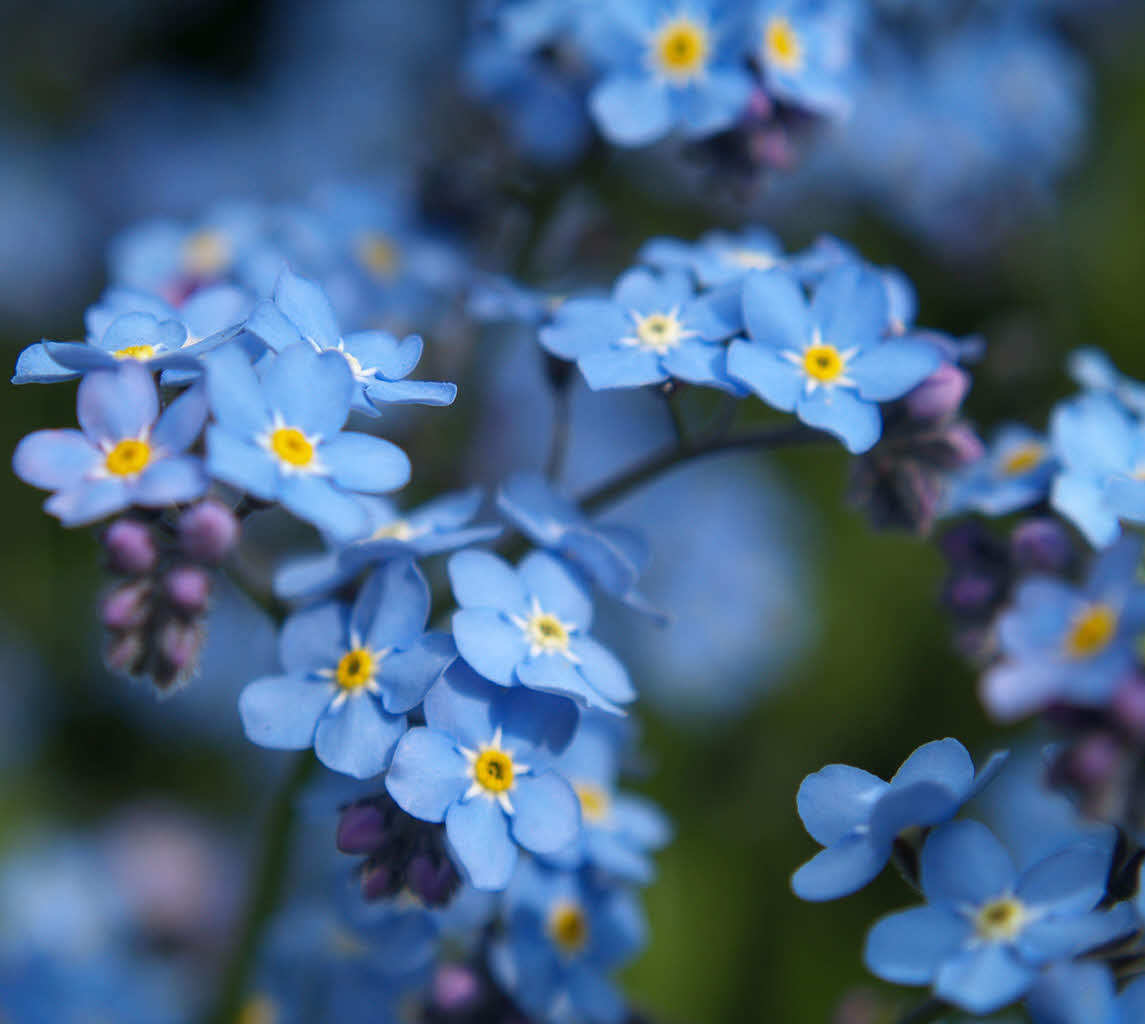 Top 5 Blue Flowers     Vern Goers Greenhouse Forget me nots are small  delicate flowers that come in blue  pink and  white