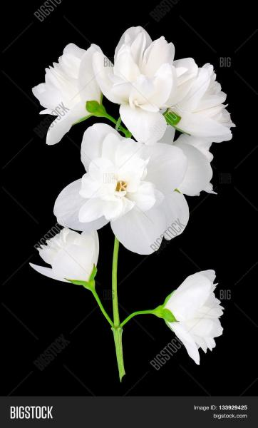 Branch Jasmine Flowers Image   Photo  Free Trial    Bigstock Branch of jasmine flowers isolated on black background  White jasmine flower   Jasmin branch with