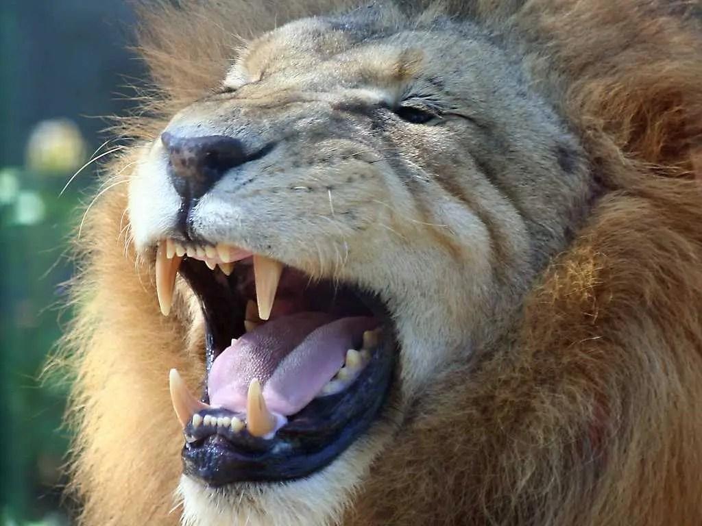 man eaten by lion - HD1024×768