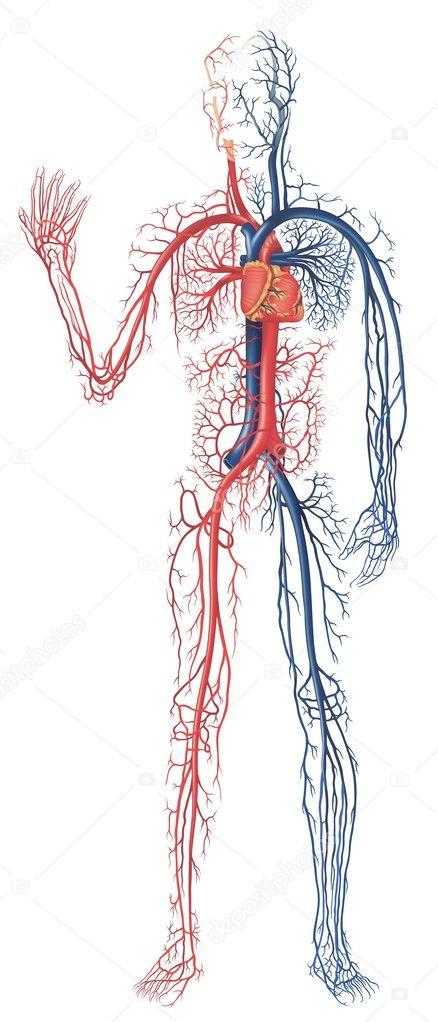 circulatory system images - 600×1401