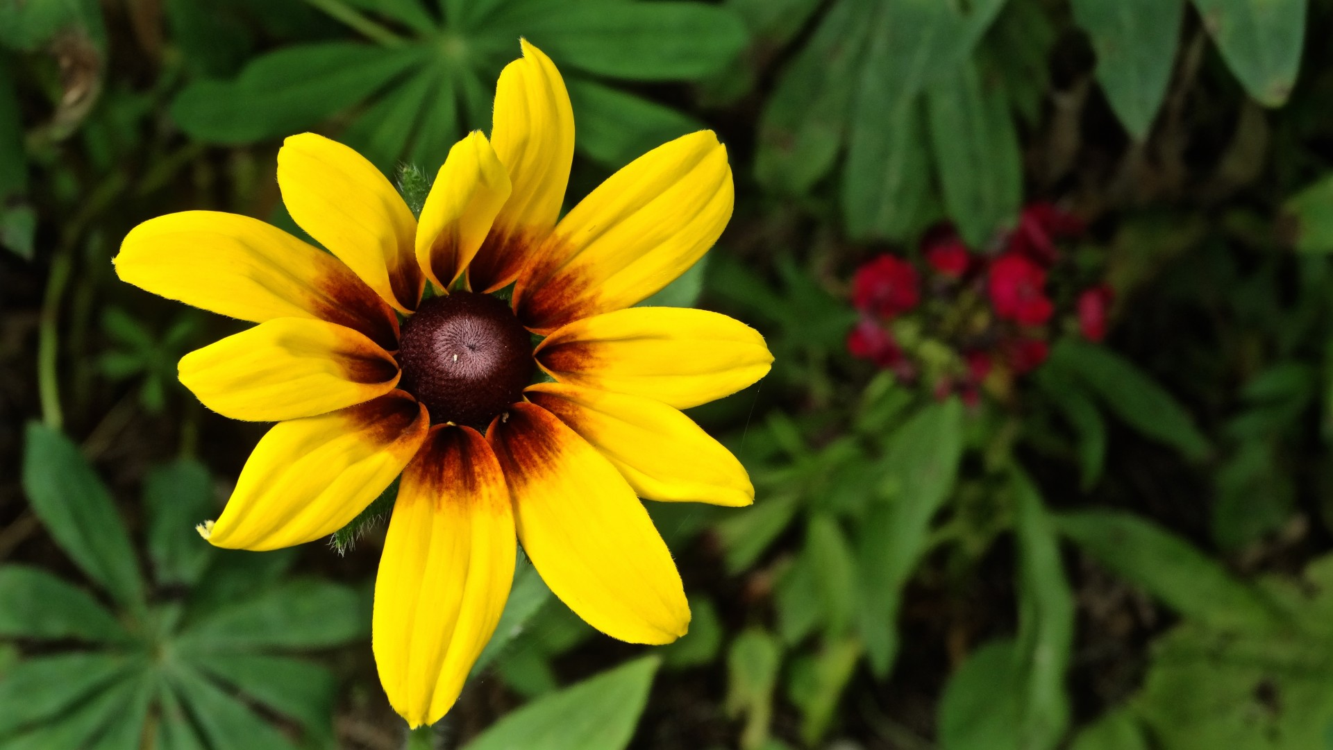 brown eyed susan - HD 1920×1081