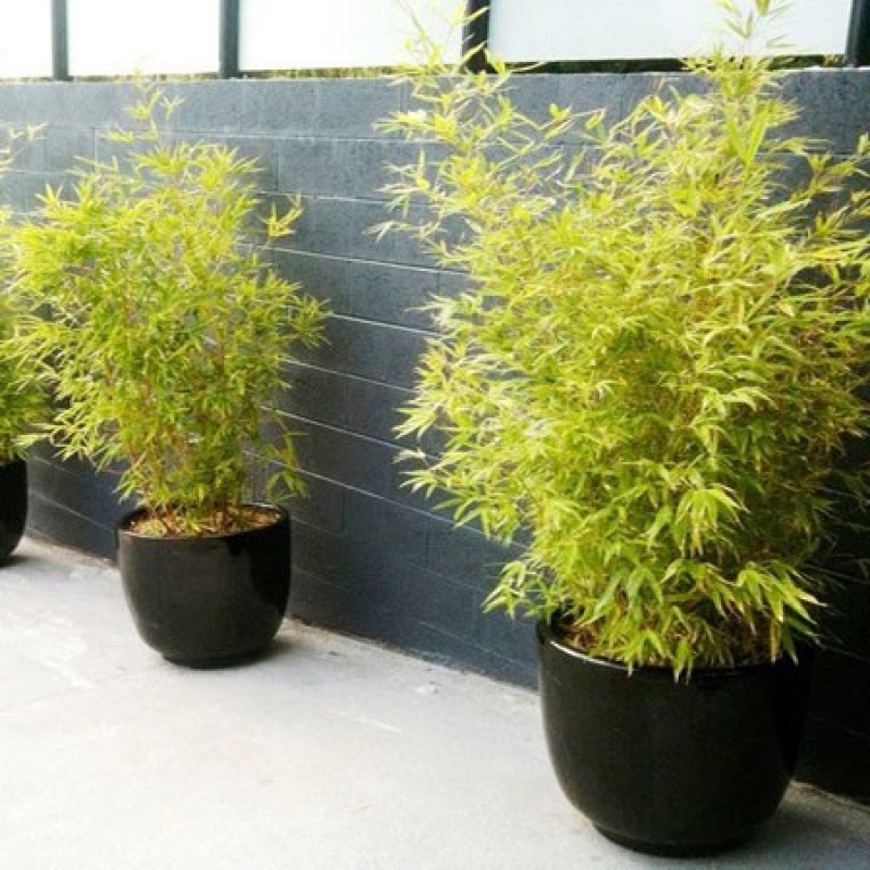 Non Invasive Bamboo Plants