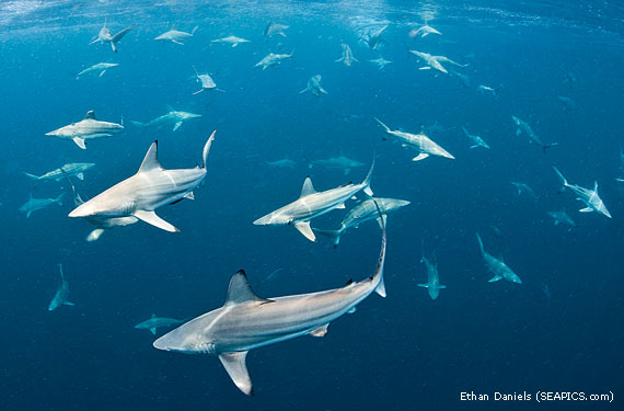 Migrating Sharks Florida Coast