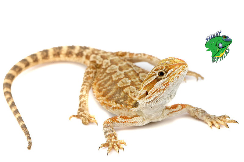 Cheap Bearded Dragons For Sale Online | Breeders ...