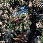 The arch under the climbing rose is the same pergola. But the mass of a rose is less than that of a grapevine, and wooden structures are still made for it.