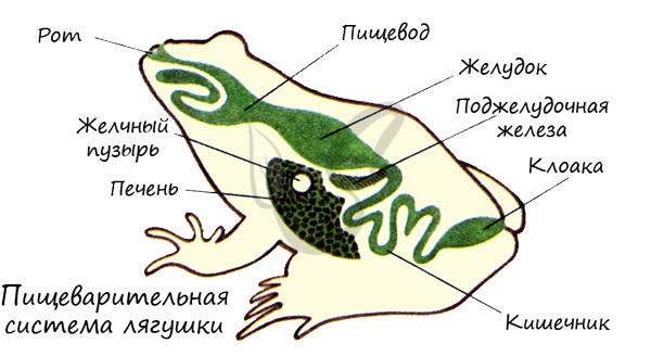 Бақаның дамуы басқа амфибиялықтардағыдай, метаморфозбен жүреді. Аксфибиялықтардың ларерары - бұл ата-бабалардың өмір салтының көрінісі.
