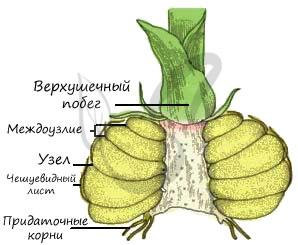 hepatica_hherb_img.png.
