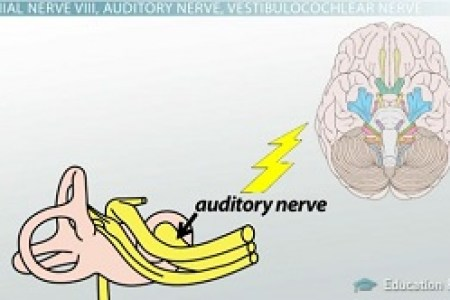 Interior Internal Auditory Nerve Full Hd Maps Locations Another