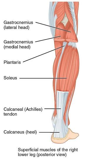 Soleus Muscle Definition Location Amp Function Study Com