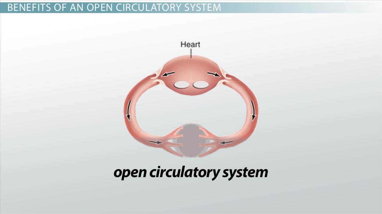 Open Circulatory Systems: Definition & Examples - Video ...