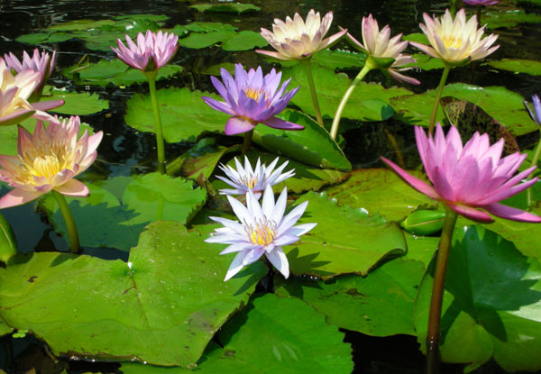 Aquatic Pond Plants Sale