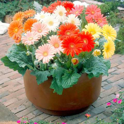 Gerbera Seeds   Cut Flower Mix   View All Flower Seeds   Flower     Gerbera Seeds   Cut Flower Mix